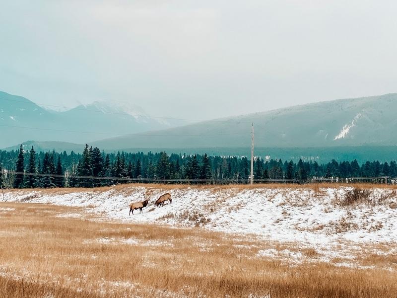 Elks in Jasper in winter