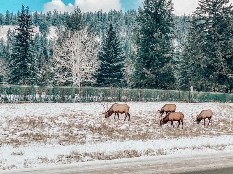 Jasper winter wildlife