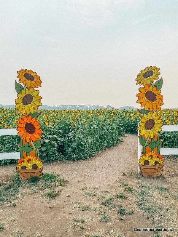 Entry to sunflower farms Edmonton