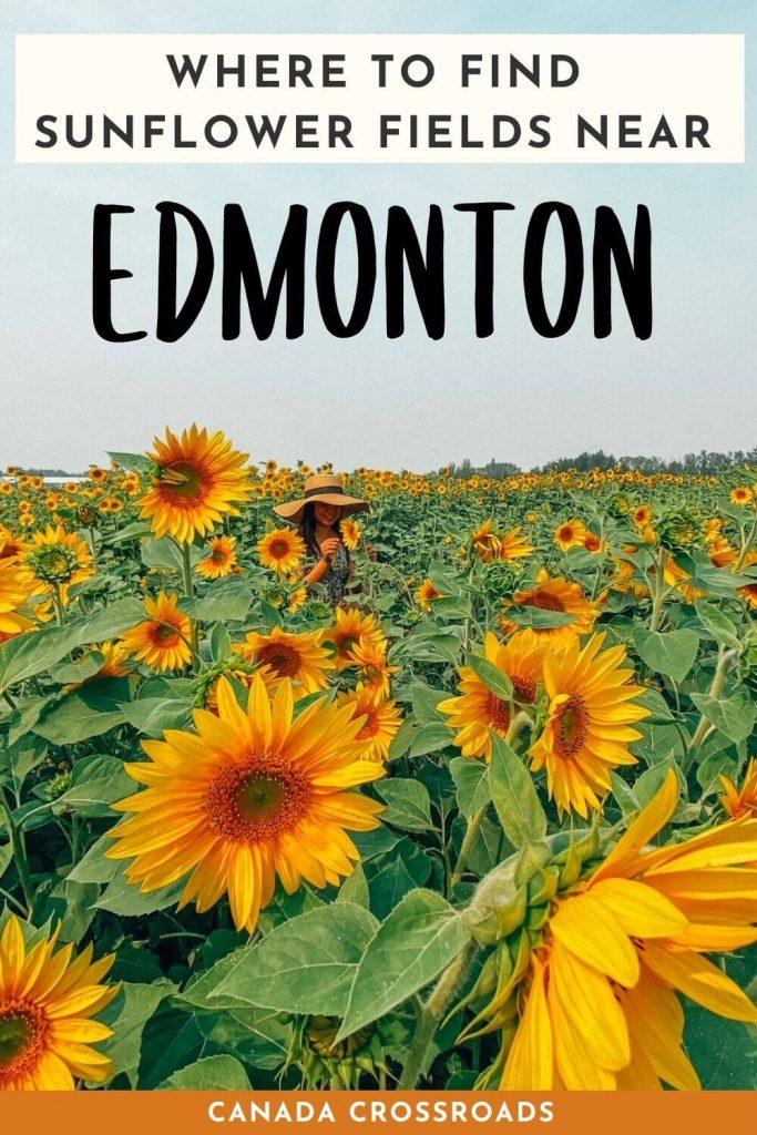 Pin for Sunflower Fields Edmonton