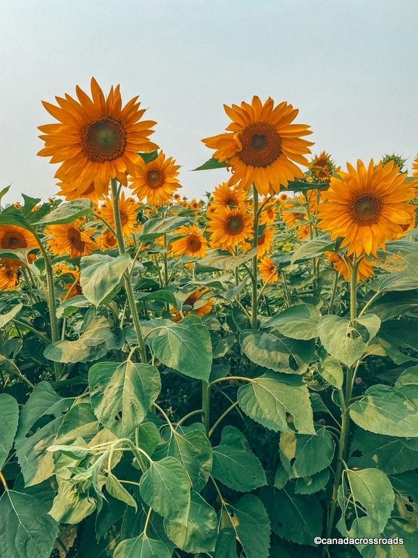 Sunflower fields in Alberta