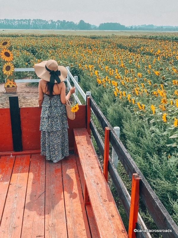 Girl at sunflower fields Edmonton Corn Maze