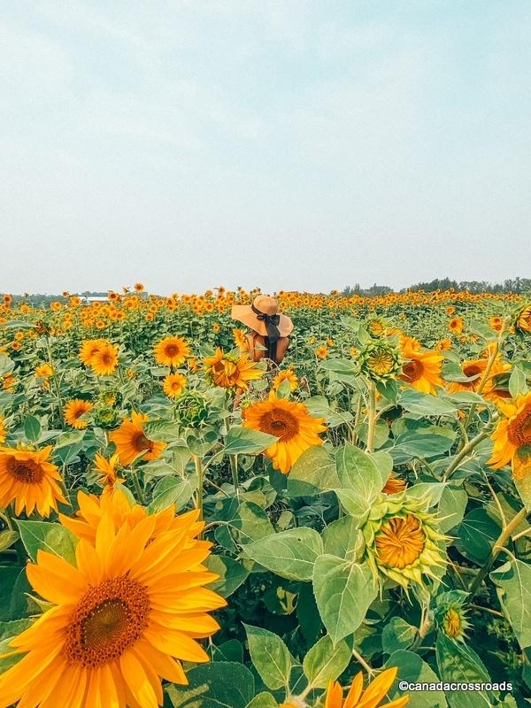 Sunflower fields Edmonton